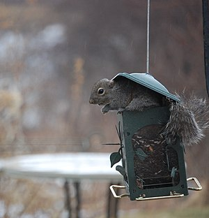 English: Squirrel eating from bird feeder. Thi...