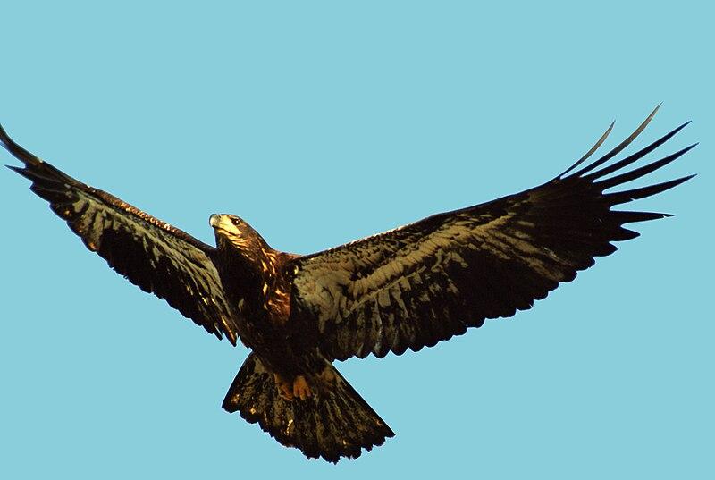 File:Fledging Bald Eagle.jpg