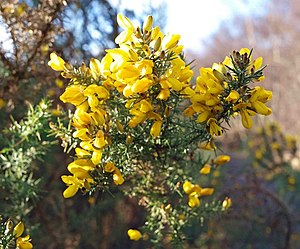 English: Gorse in flower I thought this was ea...