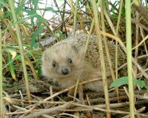 A hedgehog (Erinaceus europaeus)