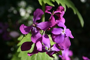 English: Honesty (Lunaria annua) Honesty seeds...
