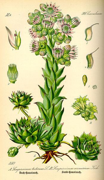 File:Illustration Sempervivum tectorum0.jpg