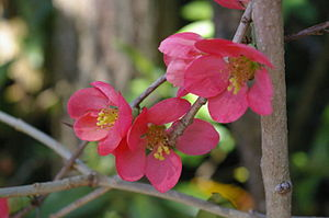 Blossom of a quince