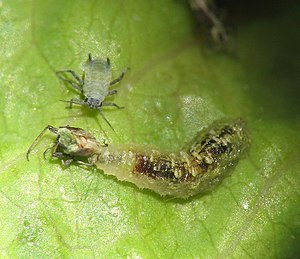 English: Syrphid fly maggot feeding on aphids....