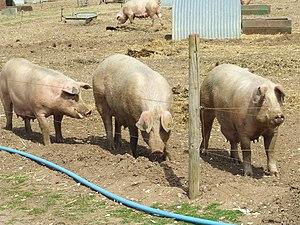 English: We three pigs Three pigs near to Narb...