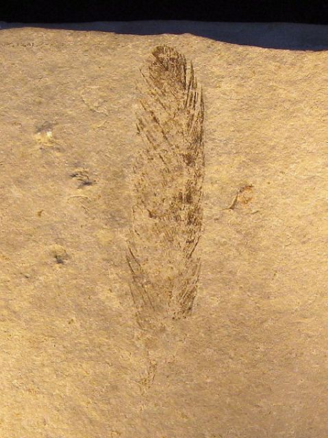 File:Archaeopteryx (Feather).jpg