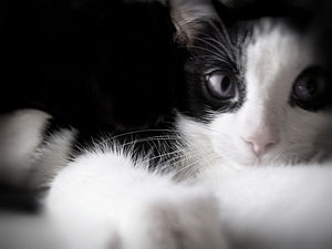 English: Black and white cat with blue eyes