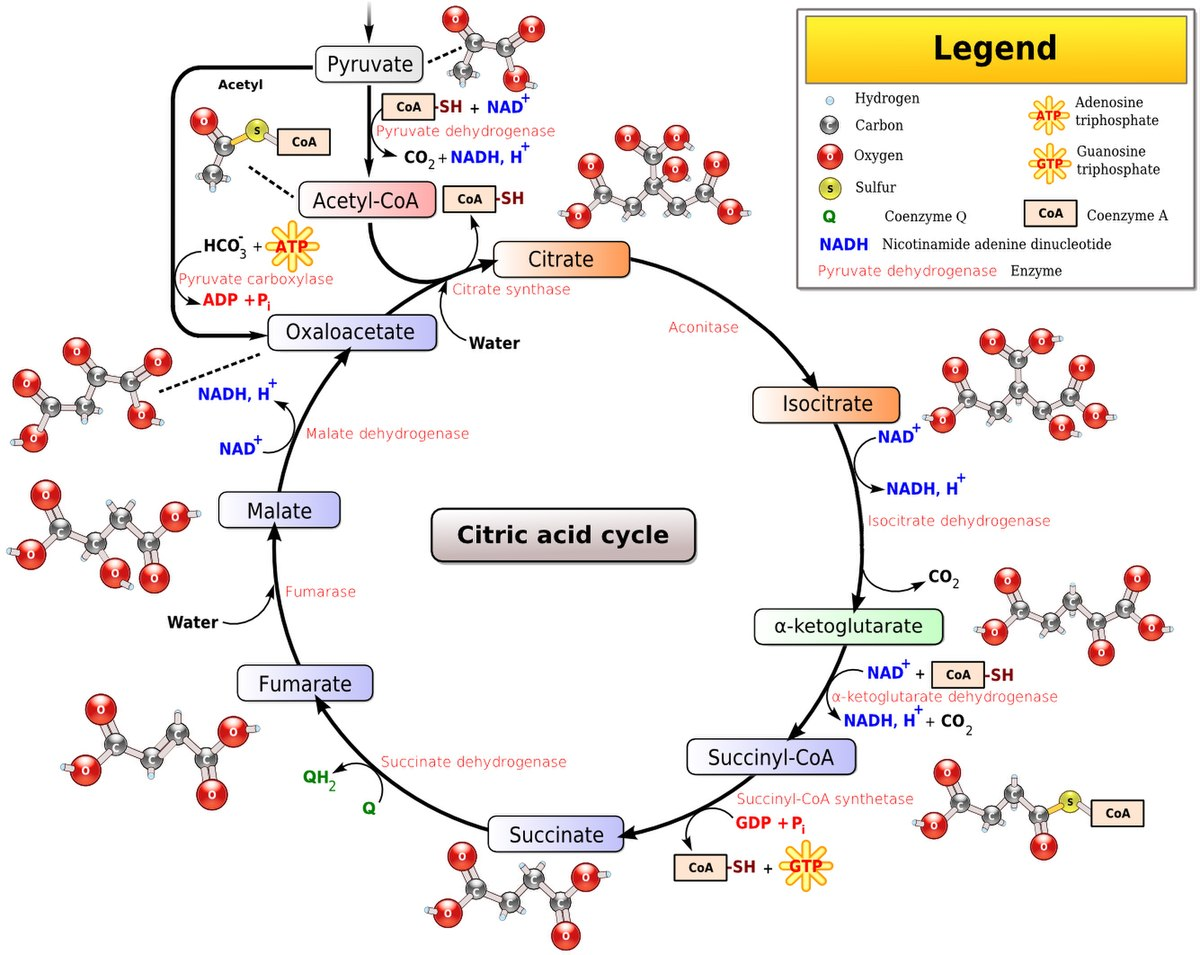 File Citric Acid Cycle Noi