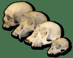 Primate skull series.png