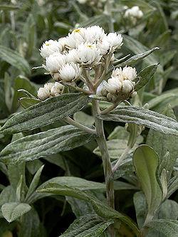 Anaphalis Triplinervis Wikispecies