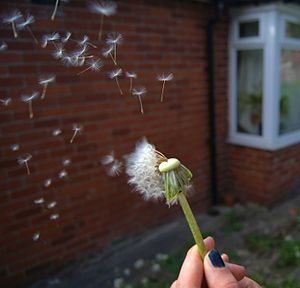 Dandelion seeds being dispersed by an air current