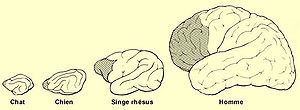 English: Evolution of the prefrontal cortex, f...