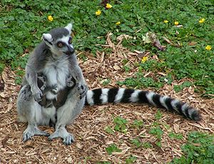 Ring-tailed Lemur (Lemur catta) holding twins ...