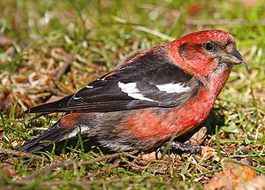 White-winged Crossbill (Loxia leucoptera) male...