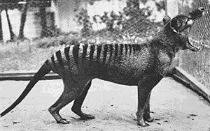 Last thylacine yawning.