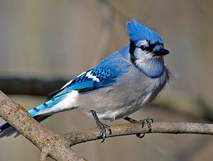 Blue Jay Cyanocitta cristata Welland, ON Canada