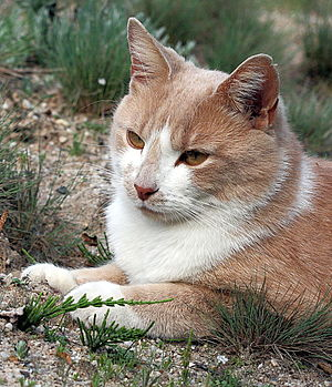 yellow and white cat