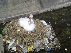 A mute swan builds a nest using plastic garbage.