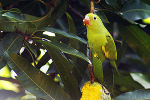 A Yellow-chevroned Parakeet in Bonito, Mato Gr...
