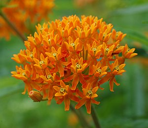 Butterflyweed (Asclepias tuberosa) (Photo credit: Wikipedia)
