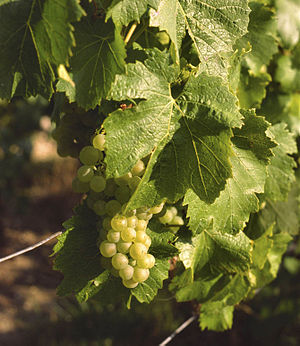 English: Chardonnay grapes in Avize (Champagne...