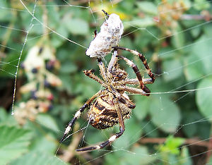 Australian garden orb weaver spider, after hav...