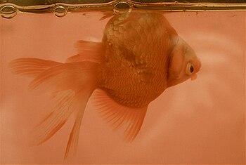 English: Ryukin goldfish with swim bladder dis...