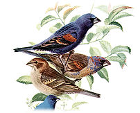 Blue Grosbeak, Guiraca caerulea, offset reprod...