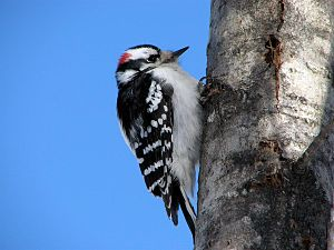 English: An adult male Downy Woodpecker, Picoi...
