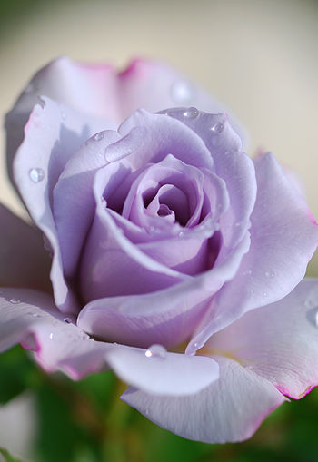 Purple roses with drops of water