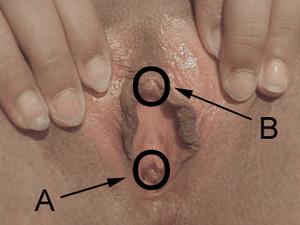 marker A: vaginal opening, marker B: clitoris