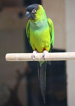 2011-4 parrot in Strasbourg