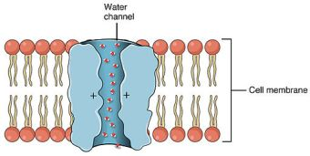 2625 Aquaporin Water Channel