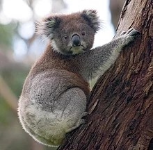 A =koala berpegang pada pohon eukaliptus, kepalanya melirik, sehingga dua matanya terlihat