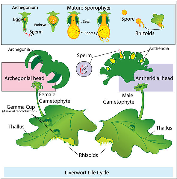 File:Liverwort life cycle.jpg