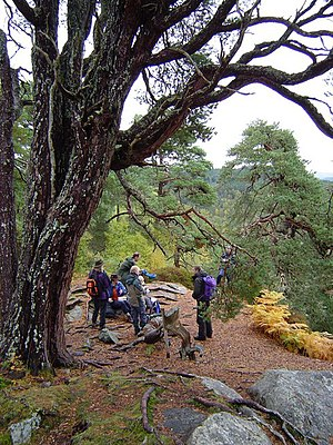 English: Old Scots Pine and Trees For Life vol...