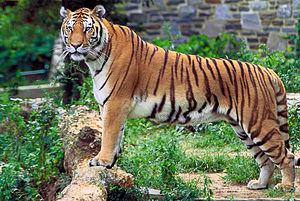 Panthera tigris tigris Česky: Bengálský tygr D...