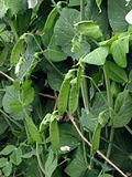 Peultjes peultjes Pisum sativum mange-tout.jpg