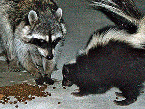 Common raccoon (Procyon lotor) and skunk (Meph...