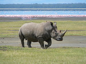 English: A Southern white rhino at Lake Nakuru...