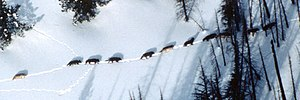 Eleven-member wolf pack in winter, Yellowstone...
