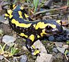 Salamandra-de-fogo