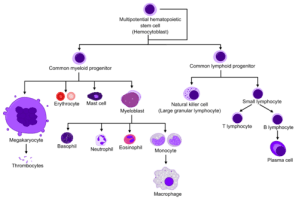 Blood cell formation  WikiLectures