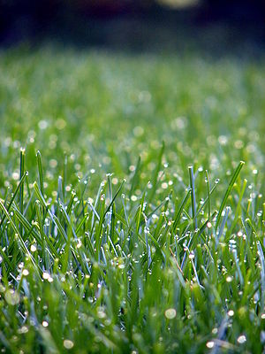 English: Lawn grass with morning dew.
