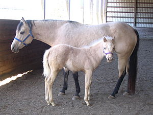 Buckskin mare with palomino colt. The colt, na...