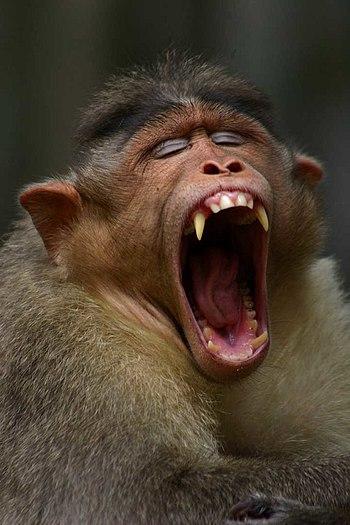 Monkey yawning