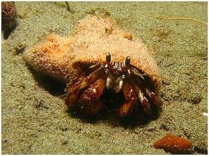 Blackeyed hermit crab (Pagurus armatus, armed ...