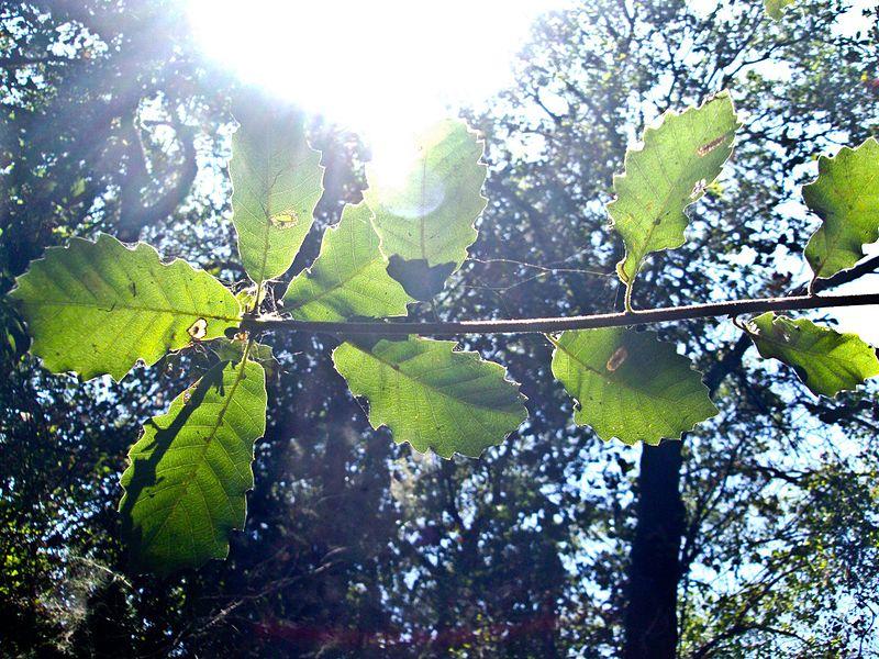 File:PikiWiki Israel 29448 a branch of Carob tree.jpg
