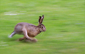 Hare running in open field