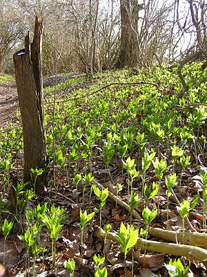 English: Spring Mercurialis perennis growth in...